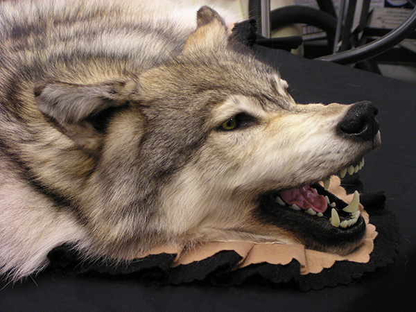 Wolf Rug Alaska Precision Taxidermy