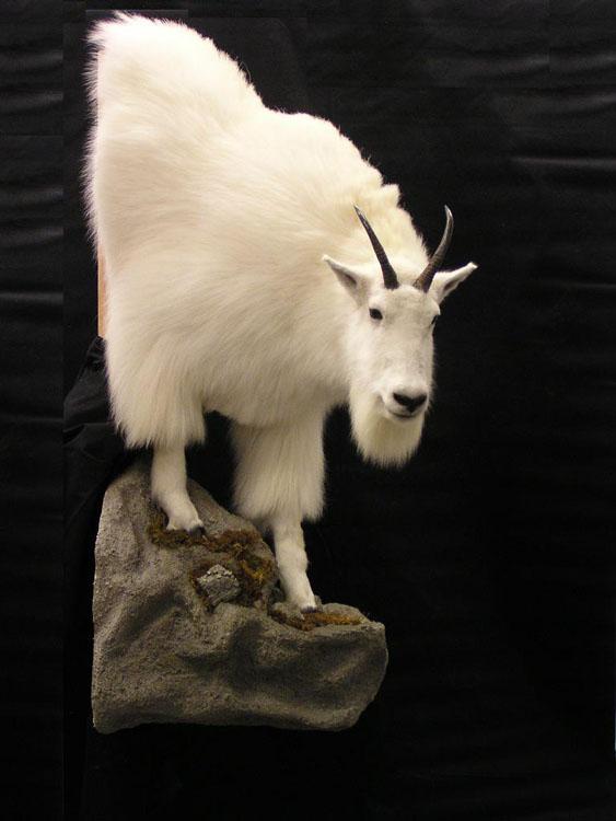 Mountain Goat Alaska Precision Taxidermy